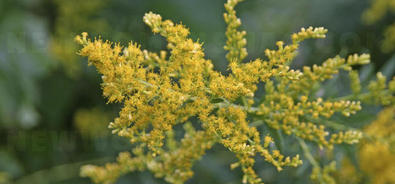 The herb that dreads allergy: ambrosia / ragweed </title>